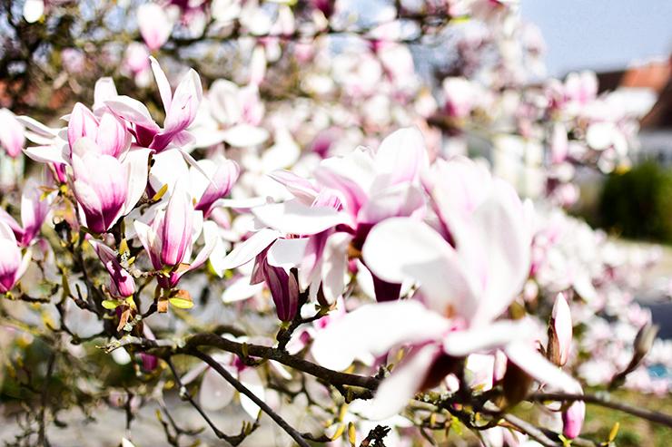 Magnoliaa
