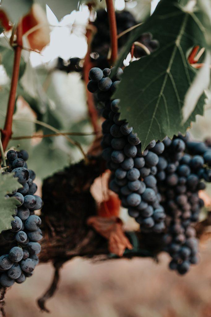Chianti Weintraube in der Toskana