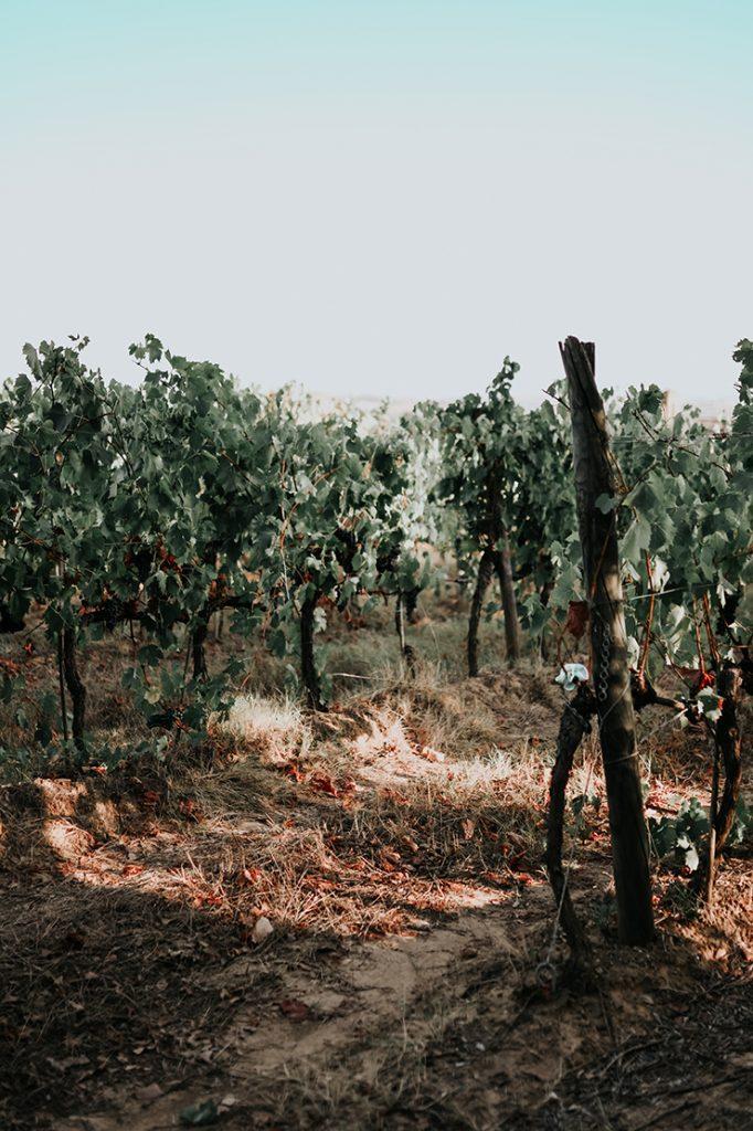 Weinfeld in der Toskana mit Chianti Wein